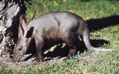 'AARDVARK' – Ant bear – Orycteropus afer